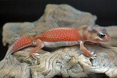 Nephrurus levis pilbarensis  #lizards #geckos
