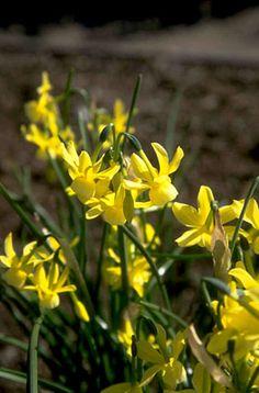 <i>Narcissus</i> 'April Tears' (5)