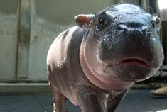 11 Reasons Hippos Are The Most Awesome Animals Of All Time (Kass you have to watch the video, it's hilarious)