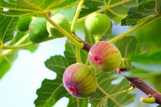 Natural Mosquito Repellant, Mosquito Repelling Plants, Fig Fruit, Fruit Plants, Fig Tree For Sale, Ficus Pumila, Garlic Bulb, Fiddle Leaf Fig, Sun And Water