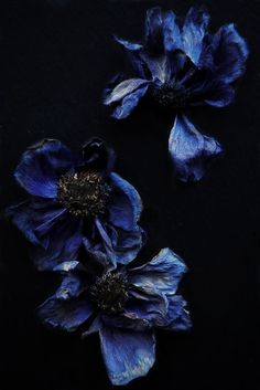 ❈ Fleurs Foncées ❈ dark art photography flowers & botanical prints - indigo- *tossed organic florals in blues shades could be really pretty- I like the texture of these flowers Dark Art Photography, Floral Photography, Profile Photography, Artistic Photography, Dark Flowers, Beautiful Flowers, Exotic Flowers, Purple Flowers, Beautiful Pictures
