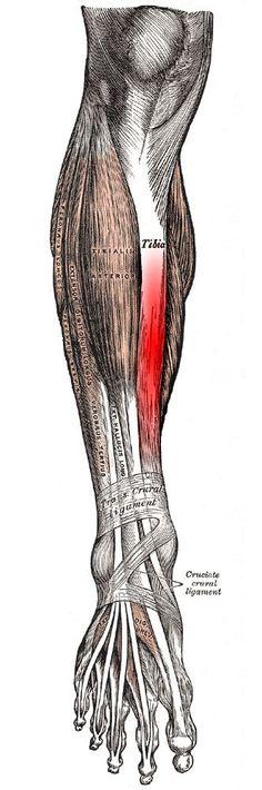 "Running writings: Injury Series: Medial tibial stress syndrome (""shin splints"") as a bone injury to the tibia"