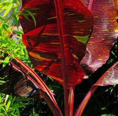 musa siam RUBY banana tree   4 Pot great red color plant houseplant