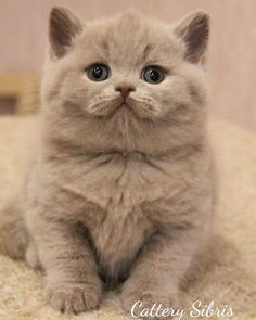 Trends Ideas Baby Cute Cats And Kittens Cute Cats And Kittens, Baby Cats, I Love Cats, Kittens Cutest, Pretty Cats, Beautiful Cats, Animals Beautiful, British Shorthair, Domestic Cat