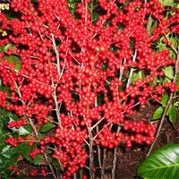 Berry Heavy Winterberry Holly | Buy online at Nature Hills
