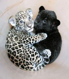 A Baby Jaguar Cuddling With A Baby Panther