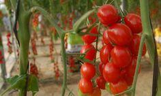"""Hernández inaugura ocho invernaderos de tomate en el occidente en Honduras El cultivo de tomate en invernadero utiliza el sistema riego por goteo y """"fertiriego"""" El proyecto beneficiará de manera directa a 65 familias rurales."""