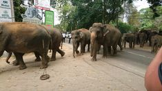 Pinnawala is the Elephant Rescue Station. Over time, however, this place has turned into a big tourist business. Big Animals, Majestic Animals, Animals Beautiful, Elephant Zoo, Elephants, Surviving In The Wild, Local Hospitals, Animal Protection, Tourist Places