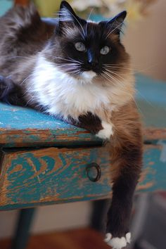 This is one BAMF cat. And he looks gorgeous on that distressed antique table, cunningly coloured to bring out the blue in his eyes.      #No I don't think the cat painted the table   #He made his bitch paint it for him