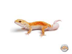 Sunglow Enigma   The Urban Gecko
