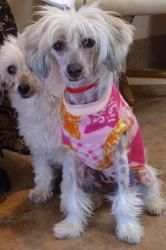 Muffin: Chinese Crested Dog, Dog; Green Valley, AZ