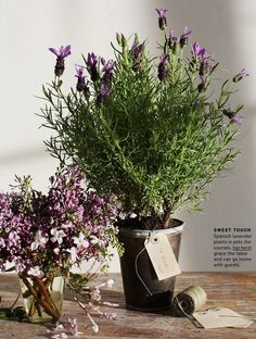 Potted Lavender from Martha Stewart May, 2013. Antique Brown Bucket from Jamaligarden.com.