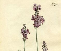 Today I'm sharing a gorgeous Free Lavender Botanical Print! Shown above is a marvelous Antique Print of a Lavender Plant!