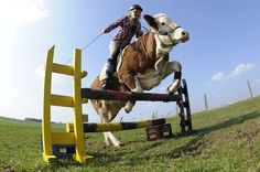 Jumping cow!!! Holy cow!! Regina Mayer, a 15 year old german girl, rides her cow, Luna. KERSTIN JOENSSON (AP) | 05-04-2011