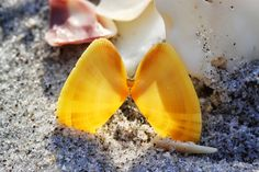 Brilliant yellow variant of the Coquina Shell Donax variabilis, Stump Pass State Park, Manasota Key, Englewood, Florida, Shoreline Ramblings: Shelling on the Florida Gulf Coast in January