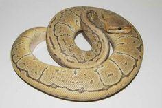 Hypo Pinstripe Ball Python Cool Snakes, Ball Python, Noodles, Spider, Cool Stuff, Macaroni, Spiders, Python Regius, Noodle
