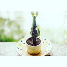 Mandacaru  De mais vida para o seu lar. #minimundoverdesp #jardim #plante #casajardim #sustentabilidade #terrario #potes #decor #suculentas #cactos #jardinagem #floricultura #minijardim #amor #amorverde #naturezaurbana #nature #design #botanical #folowme #decor #natureza #suculentas #mandacaru by minimundoverdesp http://ift.tt/25f5N8Y