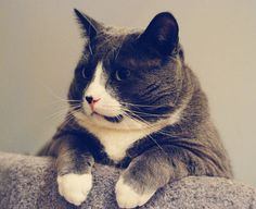 fat cat! Love this guy!  The grey spot on his mouth makes it look like he's talking out of the side of his mouth ;p Lol!