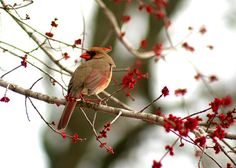 Female Cardinal by Ryan Guill, via Flickr