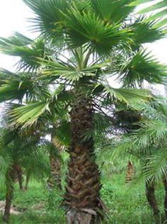 Forum del Presepio Elettronico Multimediale (Il primo e unico) - passo-passo creazione di una palma washington Model Trains, Cactus Plants, Scenery, Arts And Crafts, Miniatures, Crafty, Lanterns, Landscape, Cacti