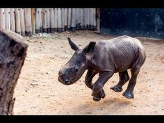 Бебе носорог се мисли за куче (ВИДЕО)