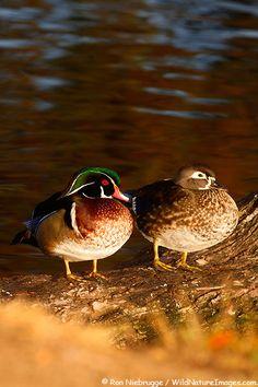 Pair of Wood Duck, Santee Lakes, Santee, California