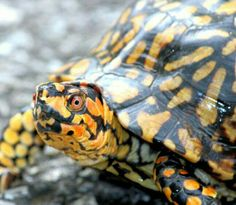 male box turtle. highly ornate