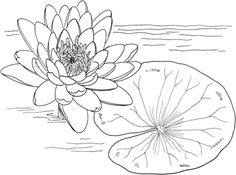 Click Nymphaea Mexicana or Yellow Water Lily Coloring page for printable version