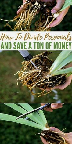 How To Divide Perennials And Save A Ton Of Money - Knowing How To Divide Perennials can save you a ton of money and make your garden look fantastic this year! #GardeningTips