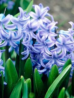 For early spring perfume in the garden, nothing beats hyacinths: http://www.bhg.com/gardening/design/styles/fragrant-plant-favorites/?socsrc=bhgpin052614hyacinthpage=11
