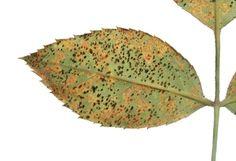 Tri najčastejšie choroby, ktorými trpia ruže: Múčnatka, čierna škvrnitosť a hrdza Plant Leaves, Plants, Plant, Planets