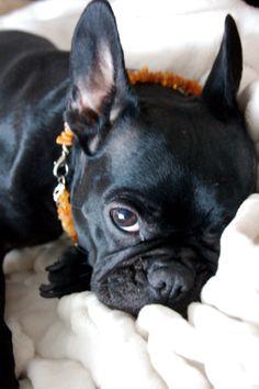 Questa originale collana di ambra per il cane è costituito da sfere di ambra grezze naturale, e fornisce protezione di pulci e zecche per cani