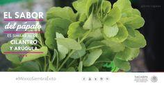 El sanor del pápalo es similar al silantro y Arúgula. SAGARPA SAGARPAMX #MéxicoSiembraÉxito