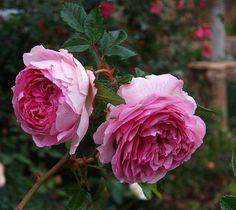 Rosas rosa.....belleza sinigual!