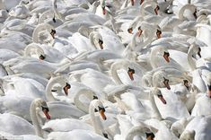Abbotsbury Swannery, near Weymouth, in Dorset - the only managed nesting colony of Mute Swans in the world, where approximately 600 swans return to every year to nest. @Sara Richards :-)