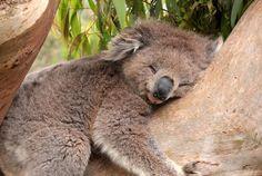 Why Do Koalas Hug Trees? | Mental Floss