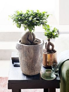 Have you heard of the Ficus Ginseng plant? Yesterday while getting distracted from work, I read that this native Asian bonsai .
