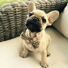French Bulldog Puppy in a Leopard Bow Tie, tres bien ; )