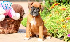 Piper | Boxer Puppy For Sale | Keystone Puppies