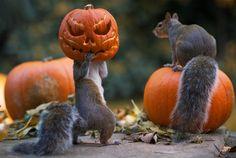 Squirrel stealing a Halloween pumpkin | Photo by: Max Ellis