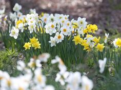 Daffodils are naturally deer resistant. Plant narcissus bulbs along property lines that you share with wooded areas. Garden Bulbs, Planting Bulbs, Planting Flowers, Garden Mum, Autumn Garden, Spring Flowering Bulbs, Spring Bulbs, Narcissus Bulbs, Prairie Planting