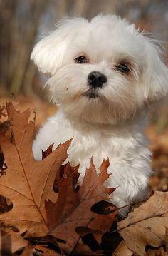 Poppy ◉◡◉ | Baby Animals | Pinterest | Autumn Photos, Maltese Puppies and Puppys