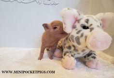 Mini & Micro Juliana Baby Pigs For Sale - Mini Pocket Pigs : Mini Pocket Pigs Baby Pigs For Sale, Micro Piglets, Pocket Pig, Indoor Pets, Pet Pigs, Mini, Animals, Animales, Animaux