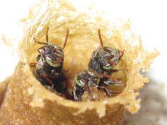 Abelhas do Brasil: Fotos abelhas nativas