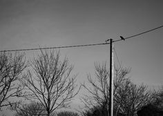 JulieK (ready for another 365 challenge) posted a photo:  (36/365) A lone Rook on the telegraph wires at the end of our garden, he's looking at the bird feeding station below wondering whether to risk flying down. Continuing my one photo each day project, also for my other group Telegraph Tuesday HTT!