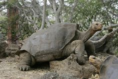 Believed to be the last Pinta giant tortoise on the planet, Lonesome George died at the age of 100 in 2012, the world mourned.