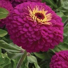 PROAR ROSE  Zinnia Seeds    Perfectly shaped 4-5 inch magenta-rose flowers with centers encircled yellow. The plants are vigorous, healthy, uniform and heavy blooming. Growing 30-36 inches tall and branching freely to 2 feet wide, Uproar Rose produces incredible amounts of buds and is superb for cutting. This is an extraordinary variety, easy to grow in large containers or borders.