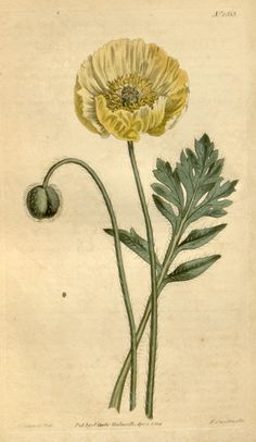Papaver nudicaule - Iceland poppy illustration - circa 1814