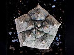 Astrophytum myriostigma cv Kikko della famiglia delle Cactacee