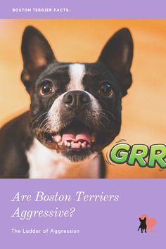 If you are considering the Boston Terrier breed as a companion, you are probably wondering about their temperament. #bostonterrier #bostonterrierbehaviour #bostonterrierpersonality #bostonterriertemperament #bostonterrieraggressive #bostonterrieraggression #bostonterrieraffectionate #bostonterrierowner #owningabostonterrier #dogbodylanguage #dogbehaviour  #dogmom #dogowner #dogaggression #aggressivedog